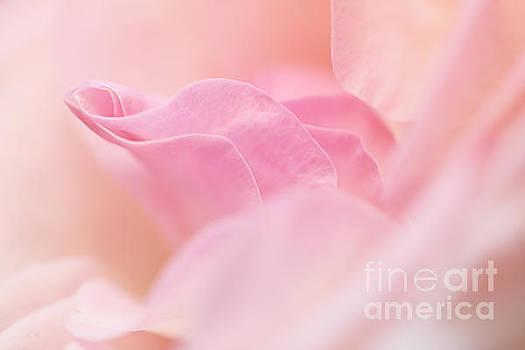 Rose Petals... by LHJB Photography
