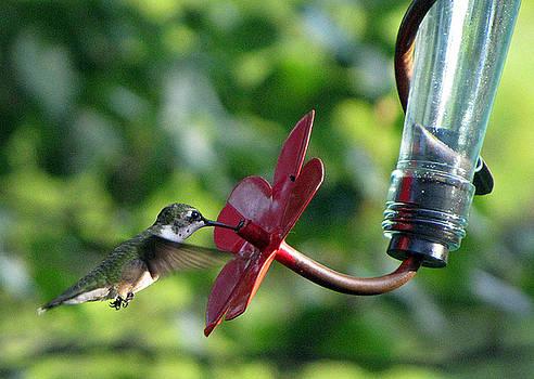 Ruby-throated hummingbird by Richard Nickson