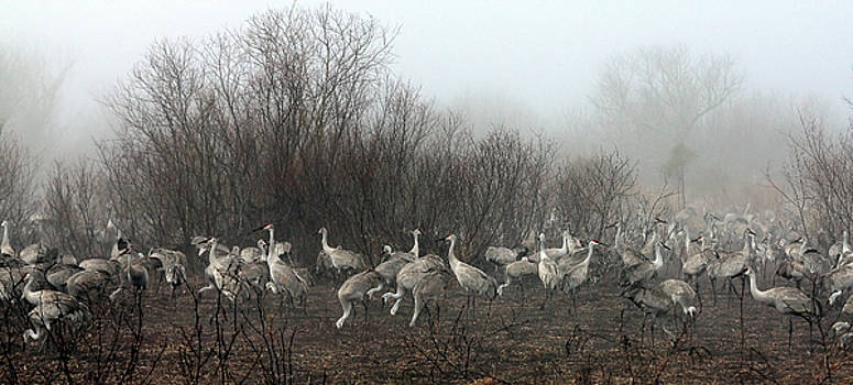 Sandhill Cranes and the Fog by Farol Tomson