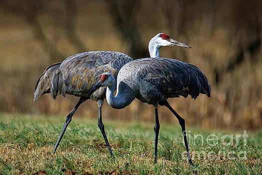 Sandhill Cranes by Paul Mashburn