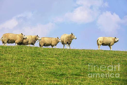 Sheep on dyke by Patricia Hofmeester