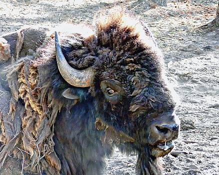 Joe Duket - Slobbering Buffalo