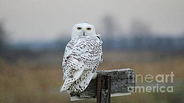 Snow Owl by Erick Schmidt