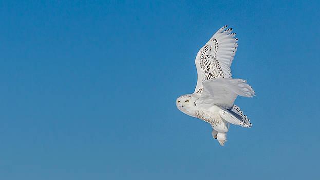 Dan Traun - Snowy Owl