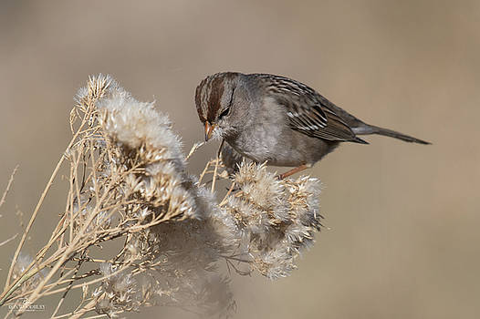 Sparrow by Ron Woodbury