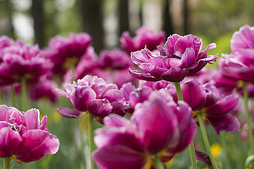 Newnow Photography By Vera Cepic - Spring blossom of pink tulips in park