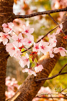 Pink Spring Blossoms by Mary  Smyth