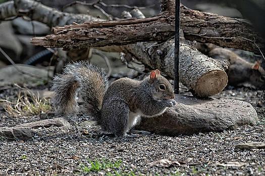 Squirrel Portrait  by Joseph Caban