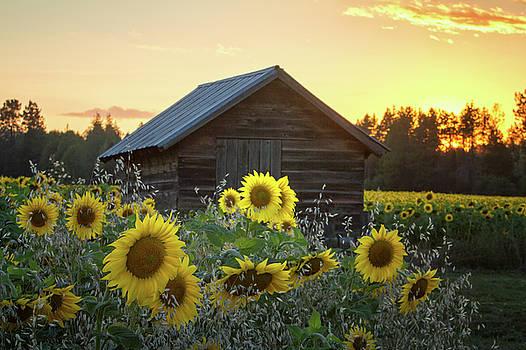 Sunflower Garden by James Richman