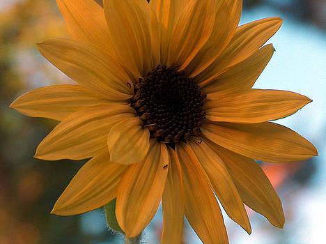 Racquel Morgan - Sunflower