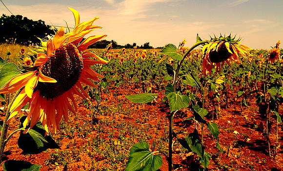 Sunflowers by Ted Hebbler