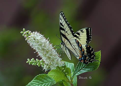 Swallowtail by Diane Giurco