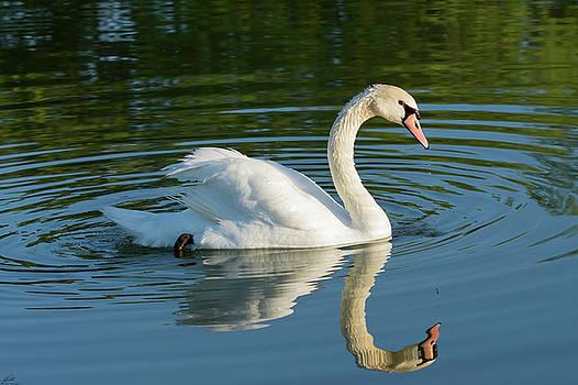 Swan Reflection by John Pavolich
