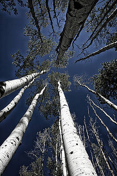 Towering Aspens by Timothy Johnson