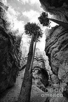Chuck Kuhn - 2 Trees Bryce BW