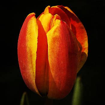 Ingrid Smith-Johnsen - Tulip 27