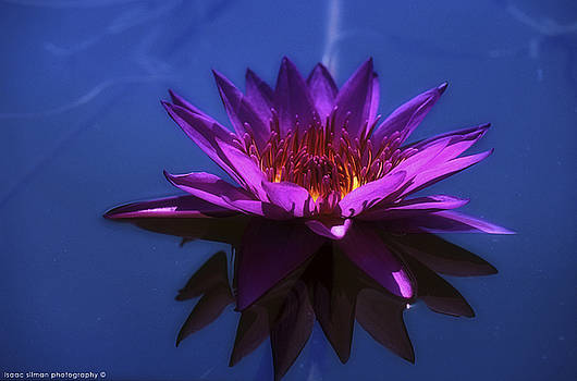 Water lily by Isaac Silman