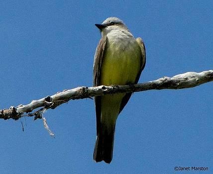 Western Kingbird by Janet Marston