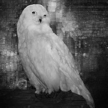 White Owl by Jack Zulli