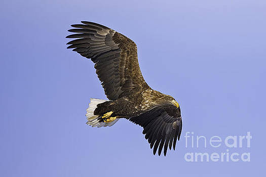 White Tailed Sea Eagle by Natural Focal Point Photography