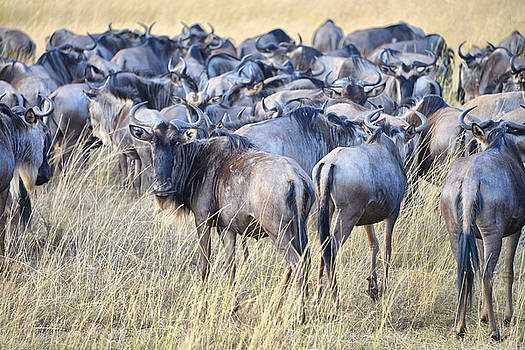 Wild beasts by Balram Panikkaserry