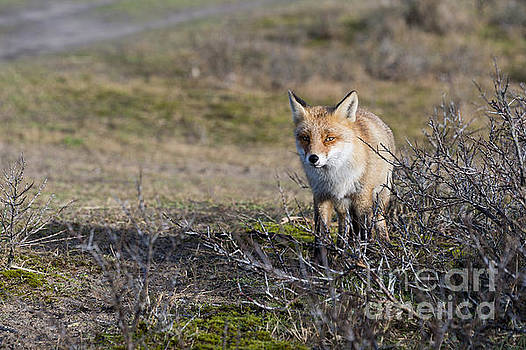 Compuinfoto   - wild red fox in Holland