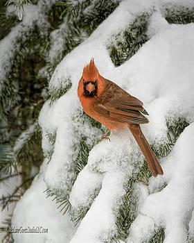 LeeAnn McLaneGoetz McLaneGoetzStudioLLCcom - Winter Cardinal