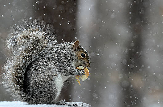Winter Squirrel by Diane Giurco