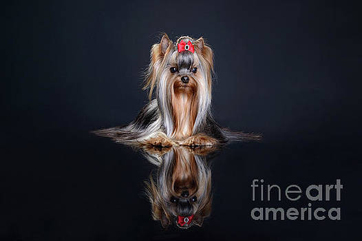 Yorkshire terrier by Stefan Kamenov