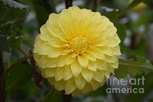 Yellow Dahlia  by Jeannie Rhode