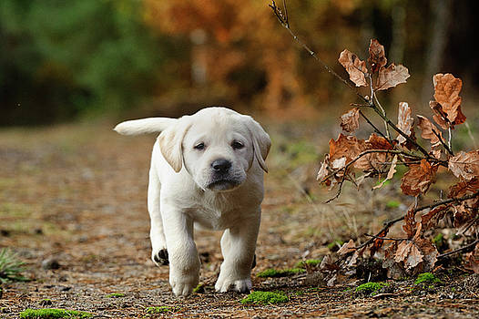 Waldek Dabrowski - Yellow Labrador retriever puppy in autumn scenery