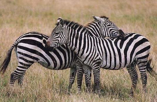 Zebras by Siddarth Rai