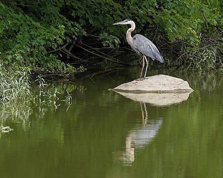 Great Blue Heron by Dan Ferrin
