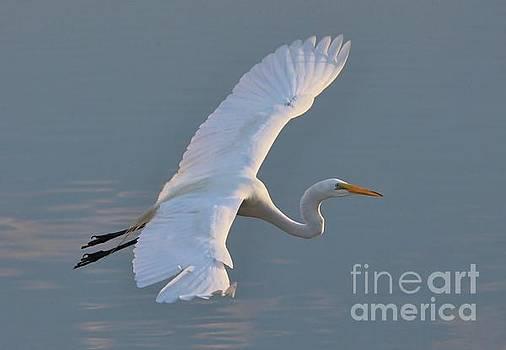 Paulette Thomas - Great White Egret in Flight