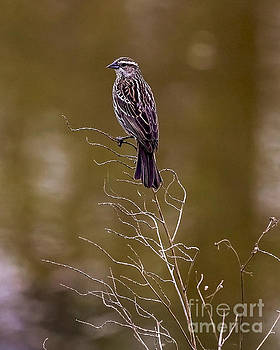 Female House Finch by Rick Grisolano Photography LLC