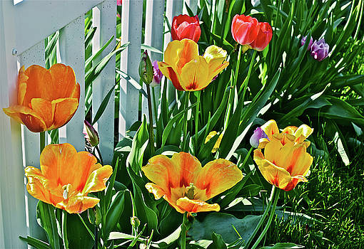 2018 Acewood Tulips Against the White Fence 1 by Janis Nussbaum Senungetuk