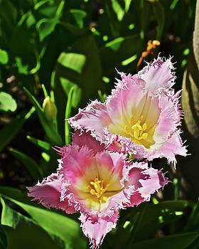 2018 Acewood Tulips Fringed Beauties by Janis Nussbaum Senungetuk