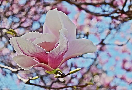 2018 Vernon Magnolias 1 by Janis Nussbaum Senungetuk
