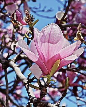 2018 Vernon Magnolias 6 by Janis Nussbaum Senungetuk
