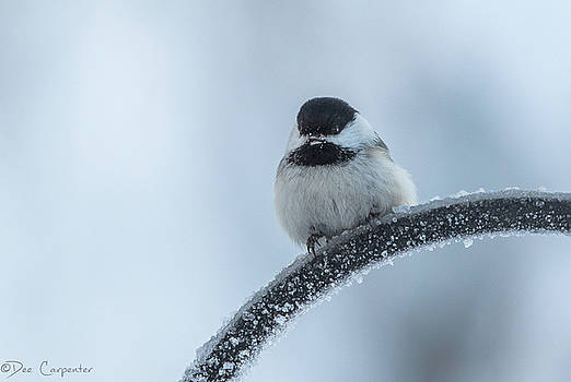 Black-capped Chickadee by Dee Carpenter