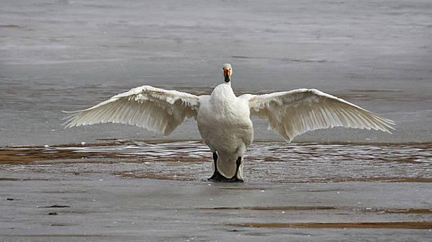 Whooper Swan by Jouko Lehto