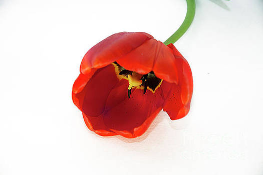 Red Tulip by Elvira Ladocki