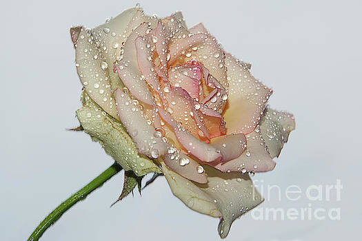 Beautiful Rose by Elvira Ladocki