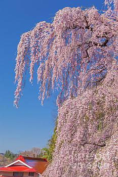 Miharu Takizakura Weeping Cherry24 by Tatsuya Atarashi