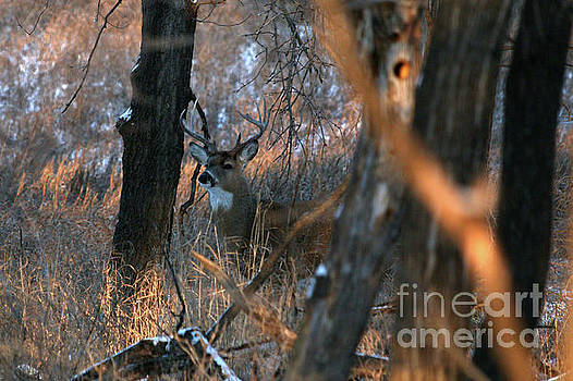 Whitetail buck by Lori Tordsen