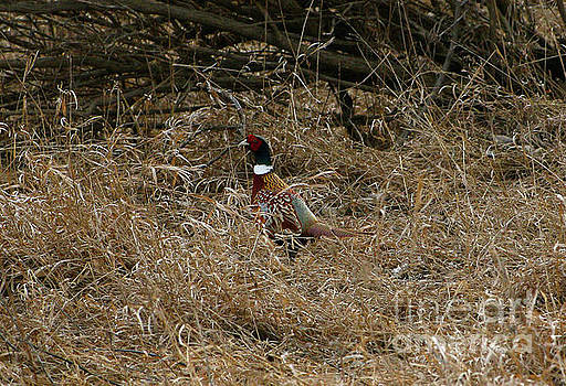 Ring-necked Rooster Pheasant  by Lori Tordsen