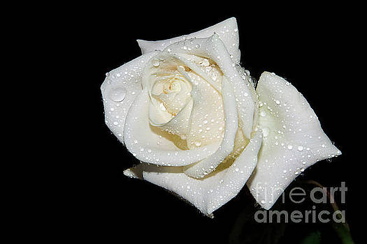 White Rose by Elvira Ladocki