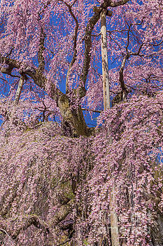 Miharu Takizakura Weeping Cherry25 by Tatsuya Atarashi
