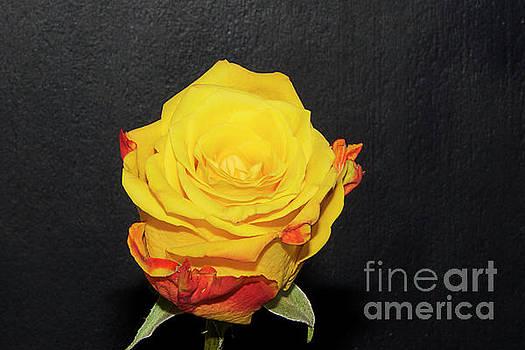 Beautiful Rose by Elvira Ladocki