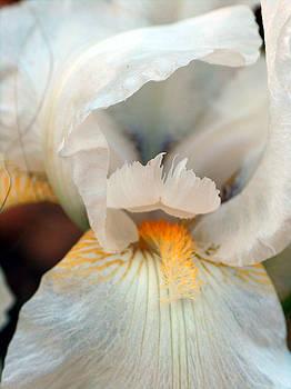 Racquel Morgan - Alabaster Bearded Iris